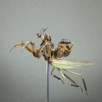 Mantidae // Tenodera Supertitiosa