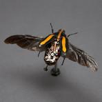 Cetoniidae // Clerota Rigifica