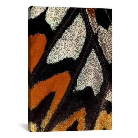 """Butterfly Wing Macro-Photography XII // Darrell Gulin (26""""W x 18""""H x 0.75""""D)"""