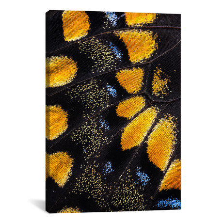 """Butterfly Wing Macro-Photography VII // Darrell Gulin (26""""W x 18""""H x 0.75""""D)"""