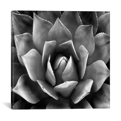 "Black & White Succulent II // Mia Jensen (18""W x 18""H x 0.75""D)"