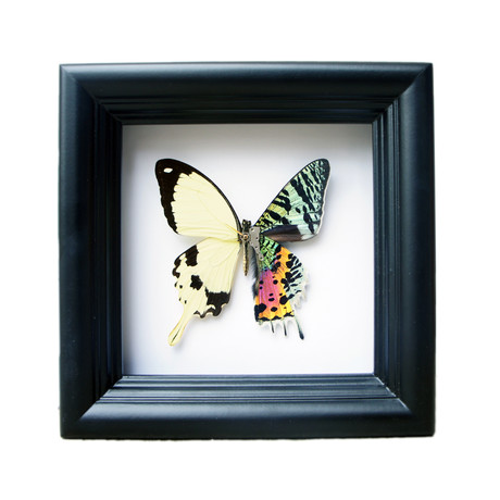 Sunset Moth and White Butterfly Shadow Box