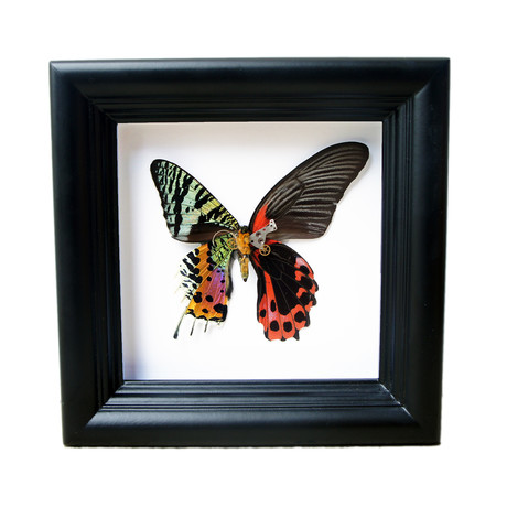 Red Butterfly and Sunset Moth Shadow Box