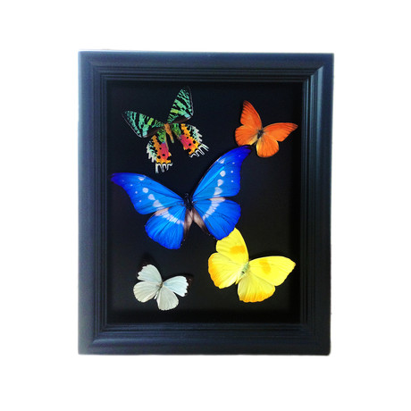 Morpho Helena Butterfly Collage Shadow Box