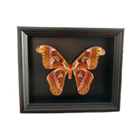 Atlas Moth Shadow Box