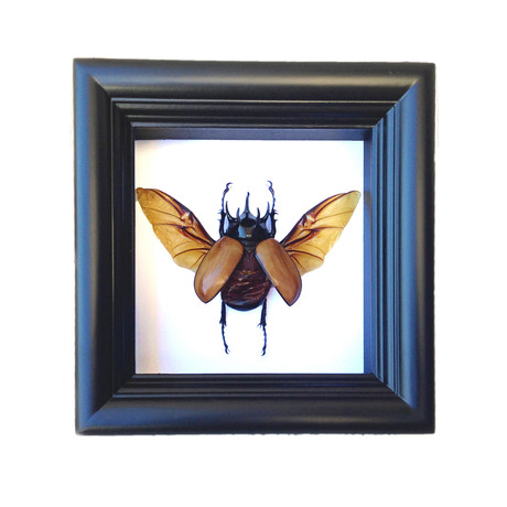 5-Horned Beetle Shadow Box