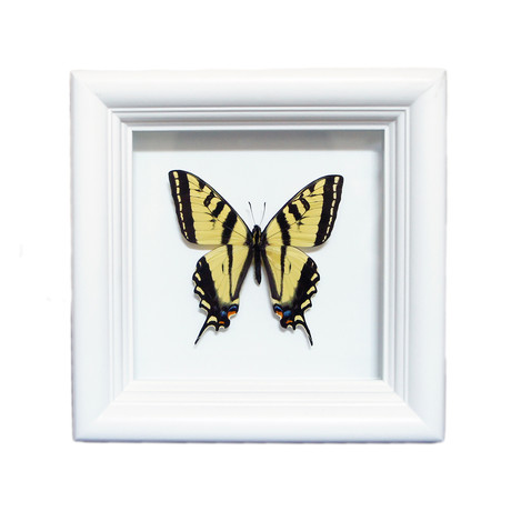 Yellow Tiger U.S. Native Butterfly Shadow Box