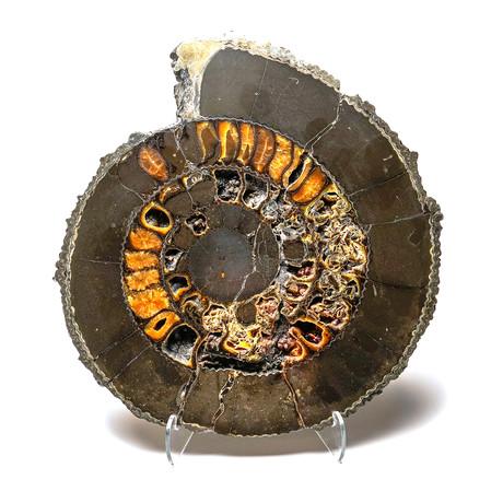 Pyritized Ammonite