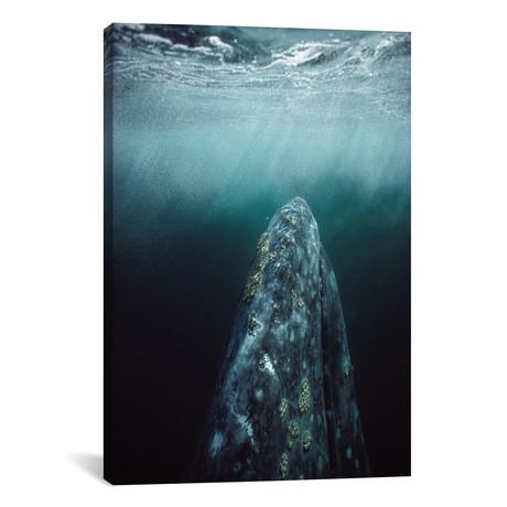 "Gray Whale Adult Underwater In Breeding Lagoon, Magdalena Bay, Baja California, Mexico // Tui De Roy (12""W x 18""H x 0.75""D)"