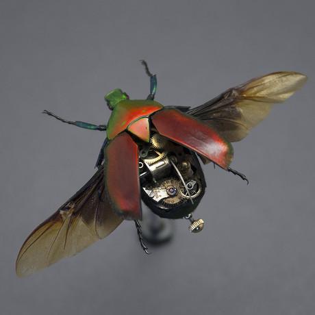 Cetoniidae // Torynorrhina Flammea