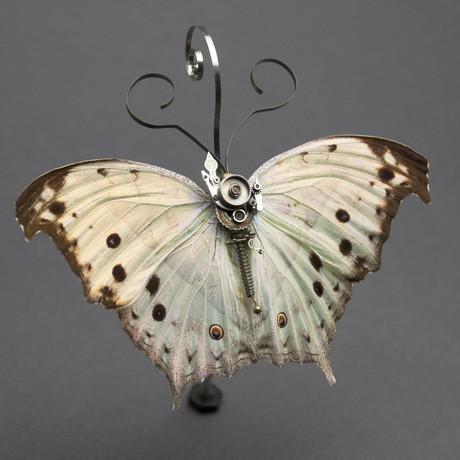Nymphalidae // Salamis Parhassus