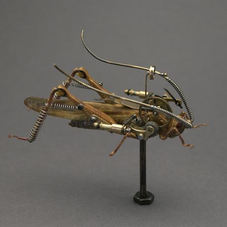 Orthoptera // Nigricornis Javanica