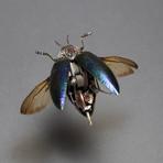 Buprestidae // Polybothris Sumptuosa