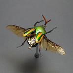 Cetonidae // Eudicella Gralli Orientalis