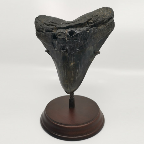 Super Wide Megalodon Shark Tooth 6.0 inches