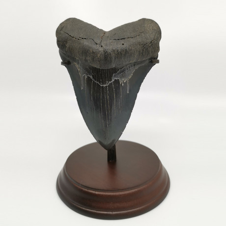 Megalodon Shark Tooth // 5.19 inches