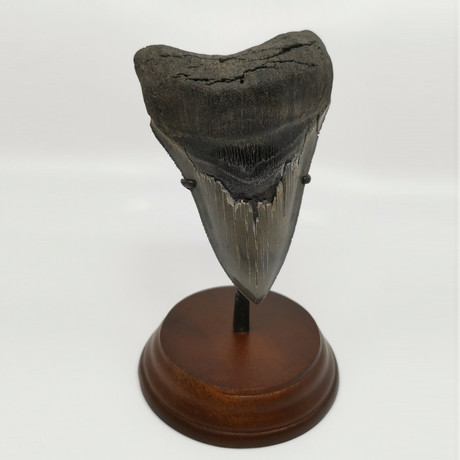 Megalodon Shark Tooth // 4.86 inches