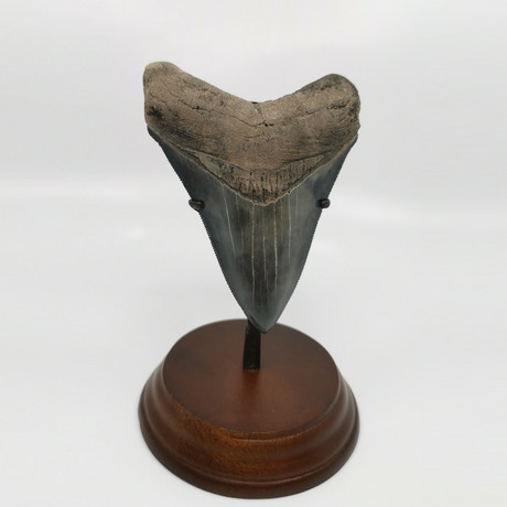 Megalodon Shark Tooth // 4.60 inches