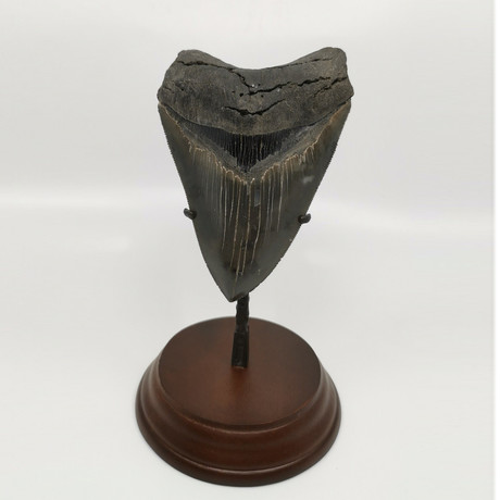 Megalodon Shark Tooth // 4.77 inches