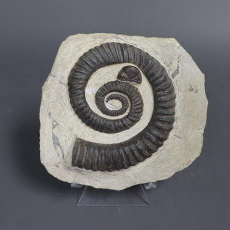 Heteromorph Ammonite // Anetoceras // 6.75 inches