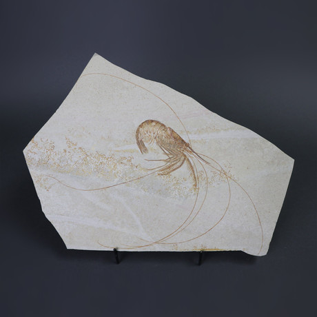 Fossil Shrimp from Solnhofen // Aeger spinipes // 9 inches