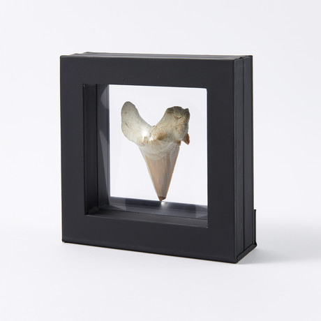 Large Fossil Shark Tooth // 60 to 45 million years old