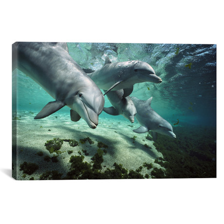 "Bottlenose Dolphin Pod, Hawaii // Flip Nicklin (26""W x 18""H x 0.75""D)"