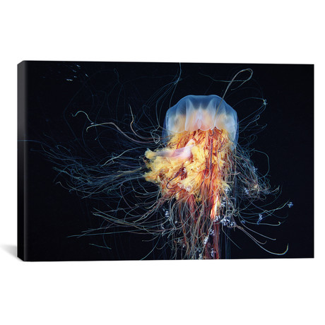 "Giant Lion`s Mane Jellyfish // Alexander Semenov (26""W x 18""H x 0.75""D)"