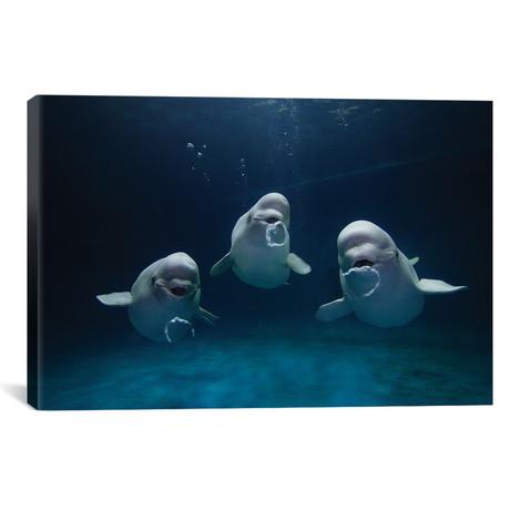 "Beluga Whale Trio Blowing Toroidal Bubble Rings, Play Behavi // Hiroya Minakuchi (26""W x 18""H x 0.75""D)"
