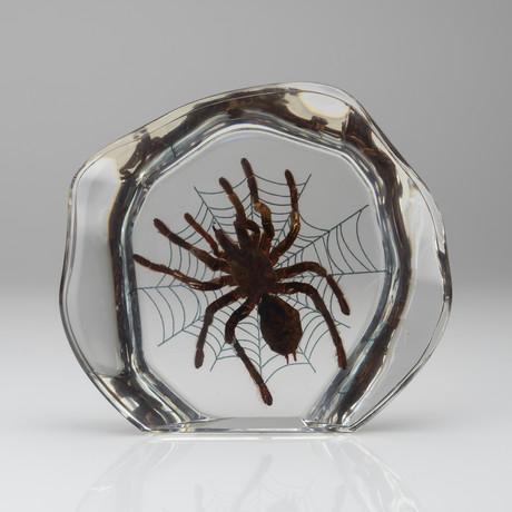 Genuine Tarantula in Acrylic