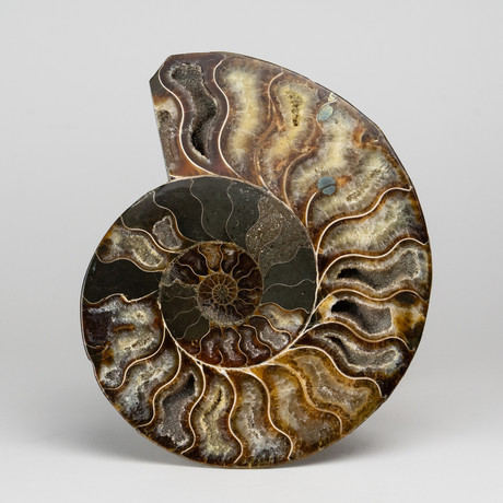 Calcified Ammonite Half from Madagascar // 1lbs