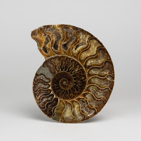 Calcified Ammonite Half from Madagascar // 0.5lbs