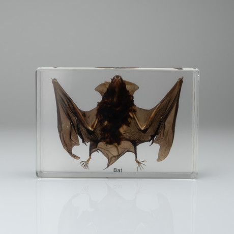 Genuine Bat in Acrylic