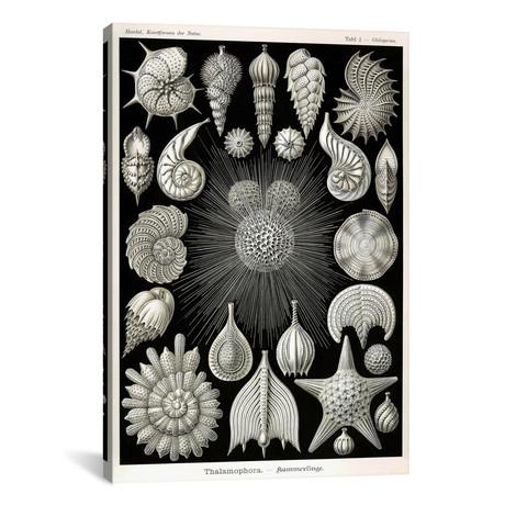 """Thalamophora by Print Collection (18""""W x 26""""H x 0.75""""D)"""