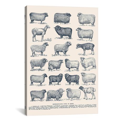 "Representative Types of Sheep by Florent Bodart (18""W x 26""H x 0.75""D)"