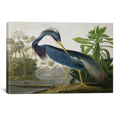 "Louisiana Heron // John James Audubon (40""W x 26""H x 1.5""D)"