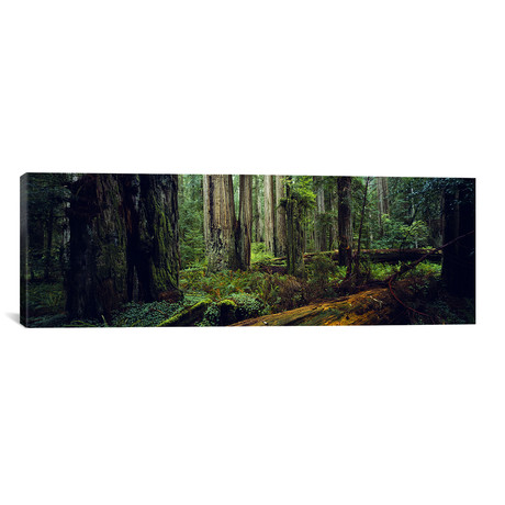 "Trees in a Forest, Hoh Rainforest, Washington // Panoramic Images (36""W x 12""H x 0.75""D)"