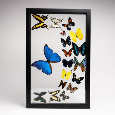 18 Genuine Butterflies // Clear Display Frame