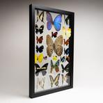 22 Genuine Butterflies // Clear Display Frame