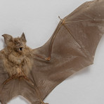 The Roundleaf Bat // Hipposideros Bicolor // Display Frame
