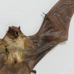 The Lesser Yellow Bat // Scotophilus Kuhlii // Display Frame