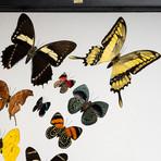 16 Genuine Butterflies // Clear Display Frame