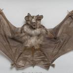 The Horseshoe Bat // Rhinolophus Lepidus // Display Frame