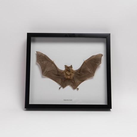 The Roundleaf Bat // Hipposideros Bicolor // Display Frame