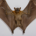 Giant Fruit Bat // Cynopterus Species // Display Frame