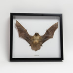 The Lesser Yellow Bat // Scotophilus Kuhlii // Display Frame