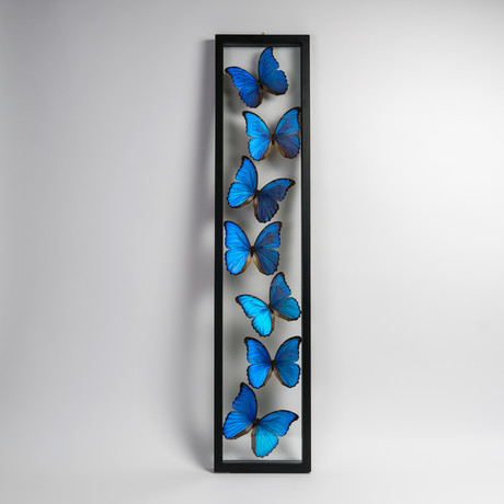 Giant Blue Morph Butterflies // Morpho Didius // Display Frame