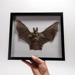 The Split Faced Bat // Nycteris Javanica // Display Frame