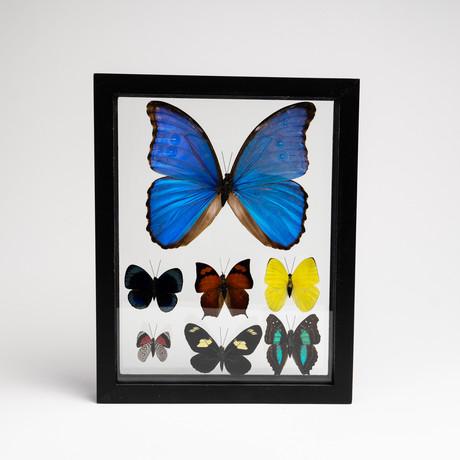 7 Genuine Butterflies // Clear Display Frame
