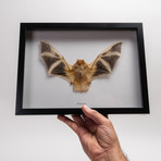 The Painted Bat // Kerivoula Picta // Display Frame